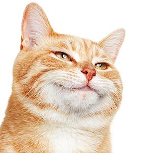 happy cat, zoomies, crazy, fun, catnip, cat toys
