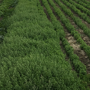 Catnip, fresh, organic, USA, catnip plant, best, nepeta cateria, cat treat,