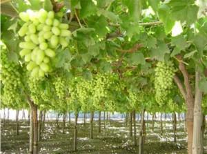 Thompson Seedless on the vine
