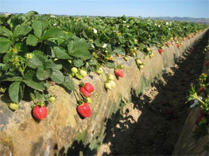 Strawberries Hanging
