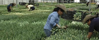 Picking Tulips - The Sun Valley Group, Arcata California