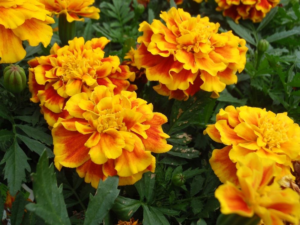 Marigolds; Photo by Cecilia Nasti