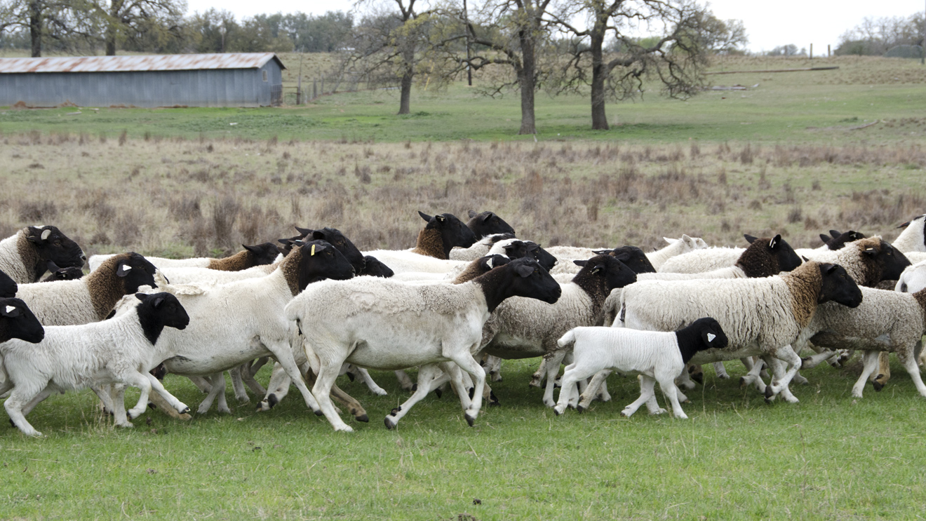 group of lambs in pasture