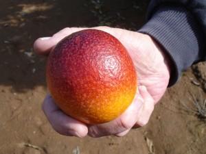 Sanguinelli Blood Orange