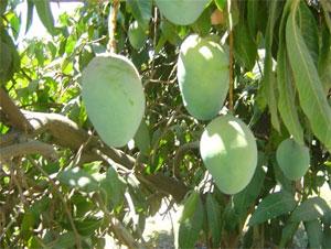 Organic Kiett mangos