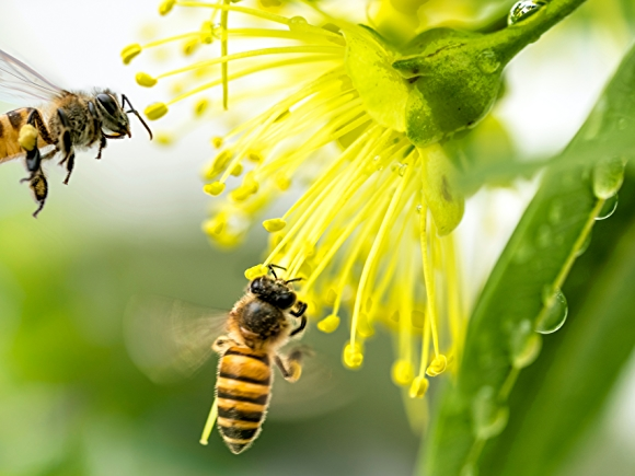 bees pollinating a yellow flower