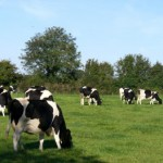 Cork County Dairy Cows