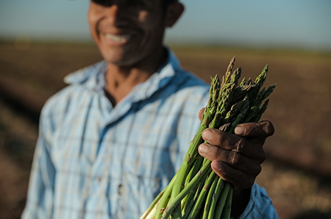 worker in field holding a bundle of asparagus