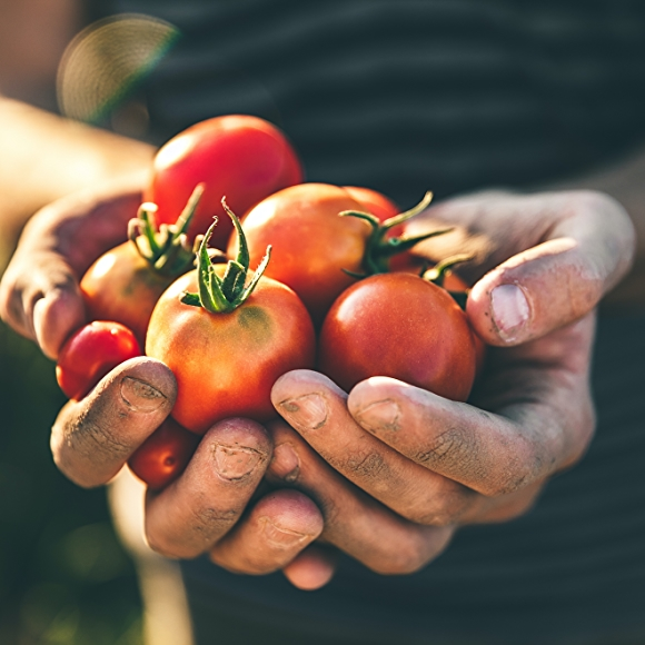 two hands holding a bunch of red tomatoes