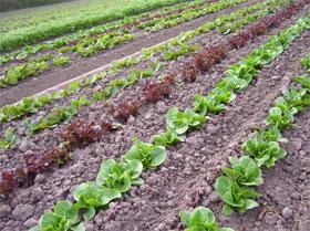 lettuce4