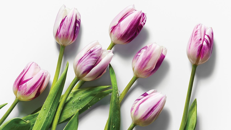 image of 6 purple tulips on white background