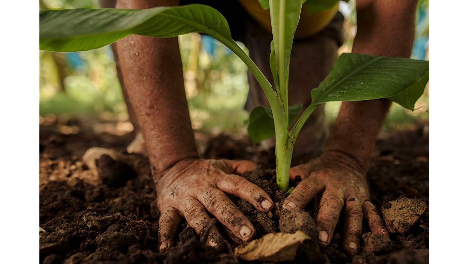 dirt covered hands in soil with green plant