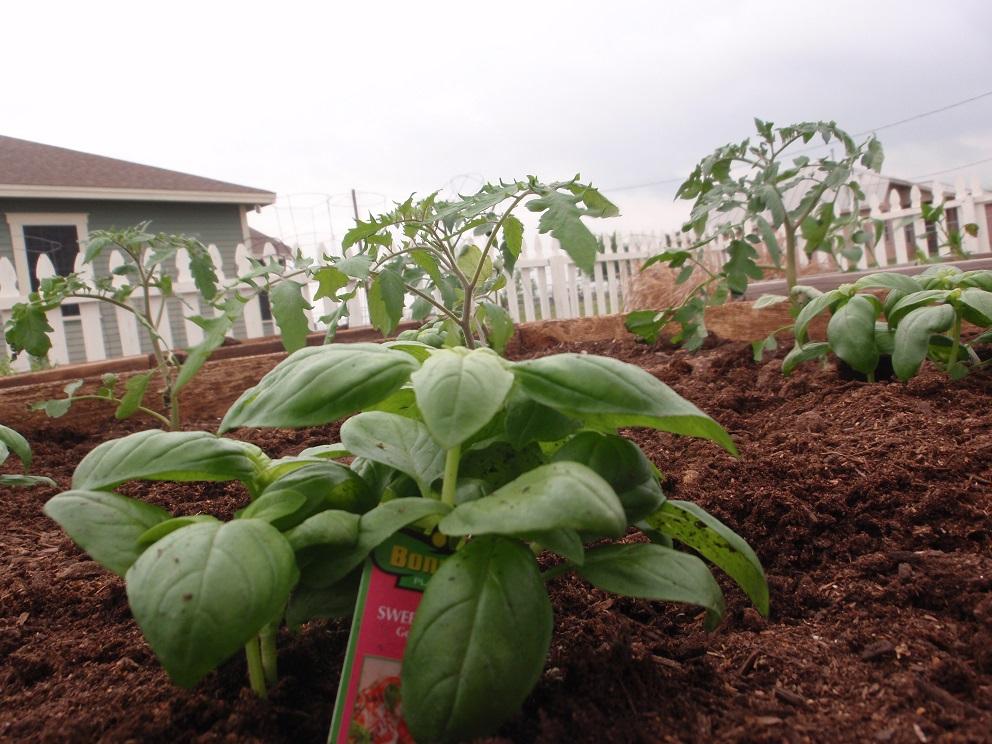 Tomato Basil Plant; Photo by Cecilia Nasti