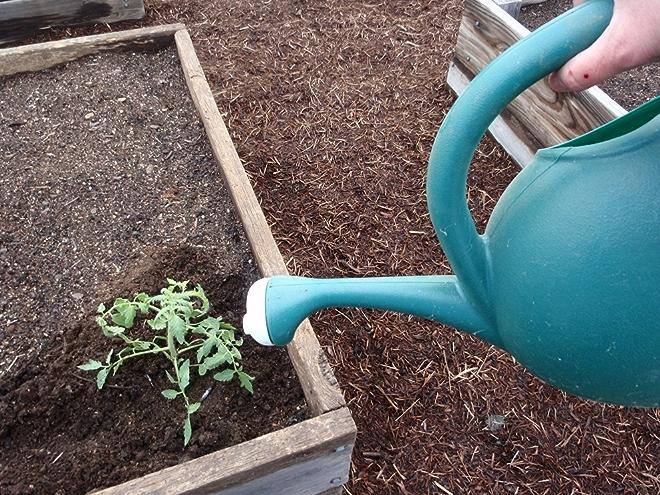 Watering Tomato Plant; Photo by Cecilia Nasti