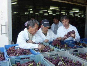 Chuck and Chris inspecting newly harvested red seedless grapes