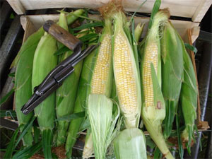 Bi-Color Corn - Georgia