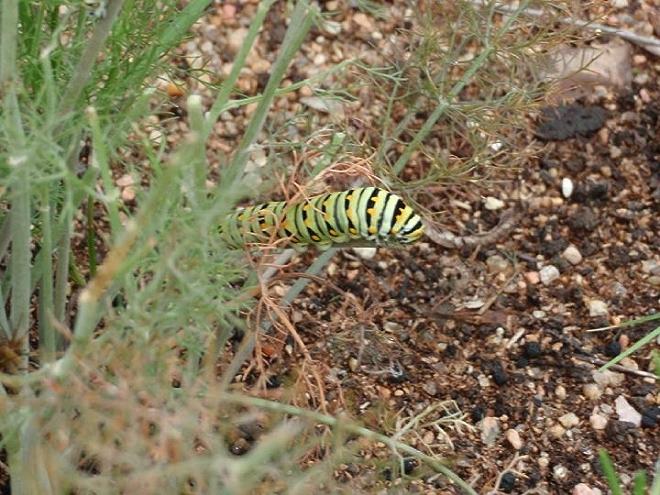 Black Swallowtail on a Fence; Photo by Cecilia Nasti