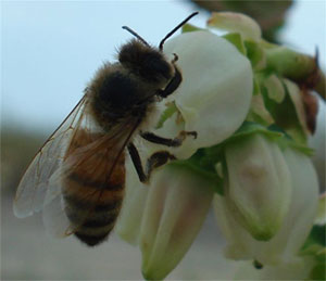 Pollinating Blueberry Blossom