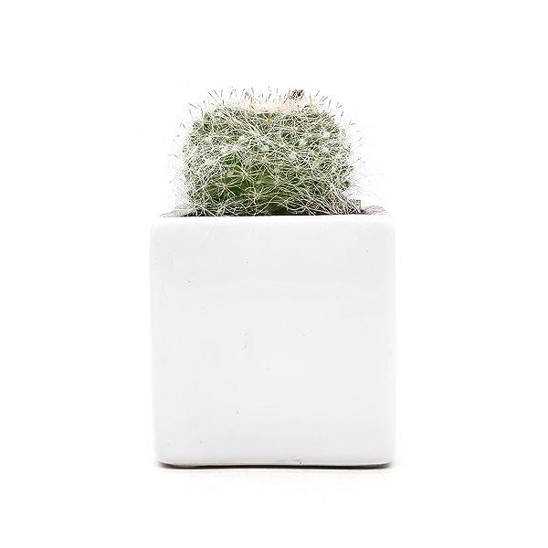 """Cactus 2"""" 1"""