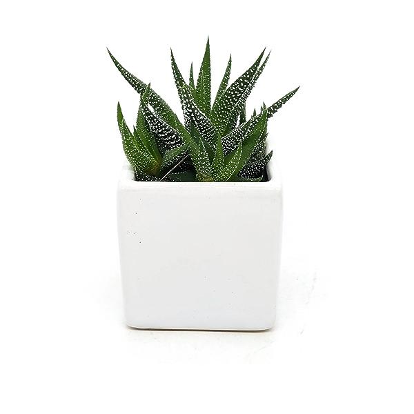 2in Succulent in Ceramic 1