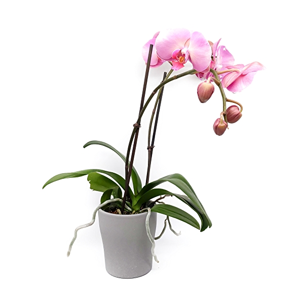 Phalaenopsis Orchid 5in 1