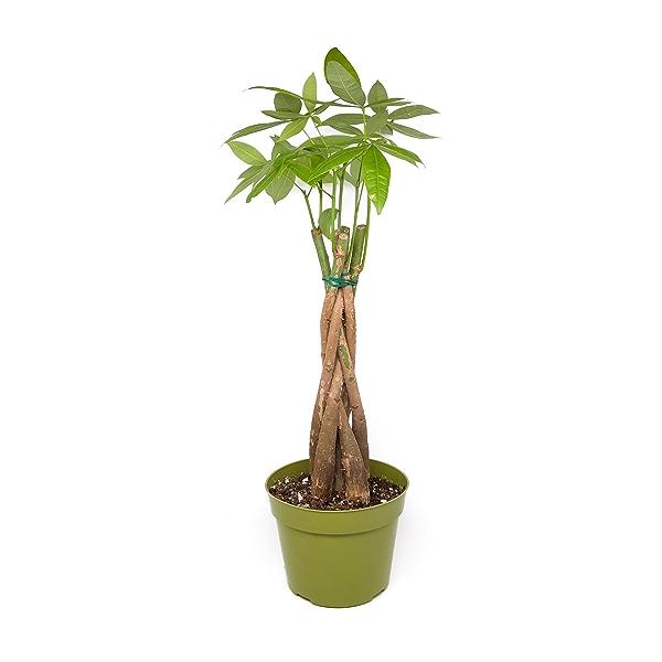Sanseveria Jade 1