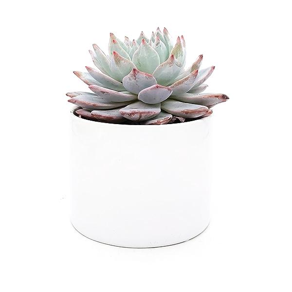 Assorted 4 Inch Succulents in Ceramic 2