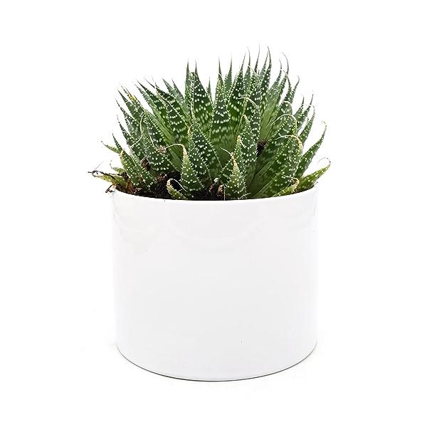 Assorted 4 Inch Succulents in Ceramic 1