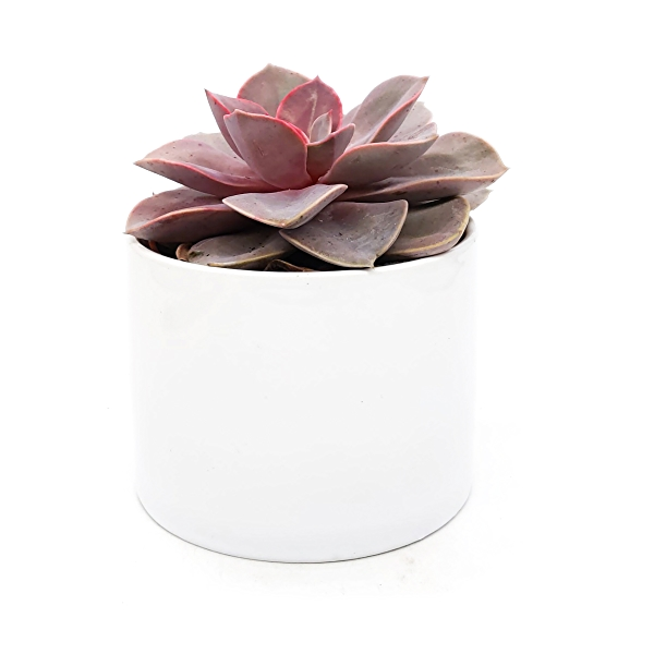 Assorted 4 Inch Succulents in Ceramic 3
