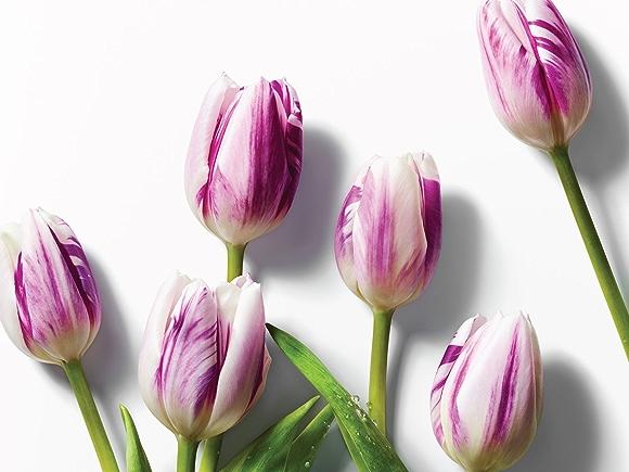 bi-colored tulips on white