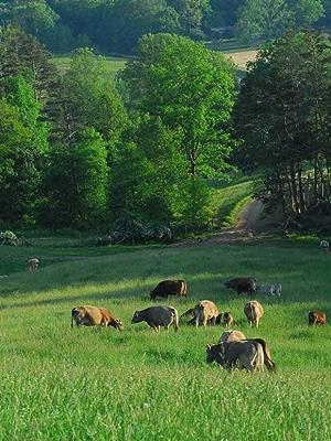 Cows grazing in a green field
