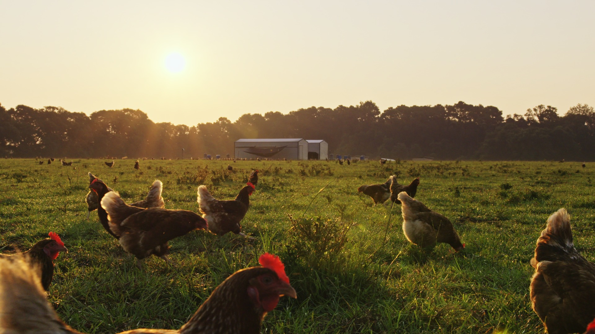 At the Fork film chickens