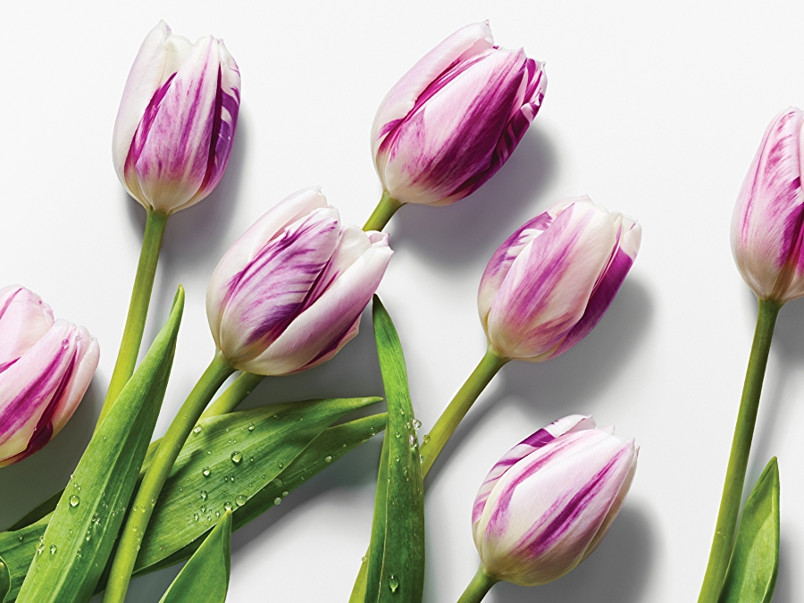 image of 6 purple tulips on white background