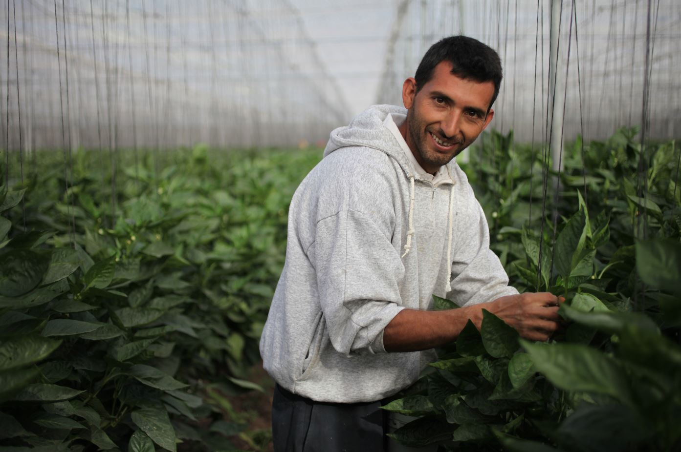 Divemex: Culiacán, Mexico | Samuel Beltran, 29, from Culiacán, nips leaves from Whole Trade organic bell pepper plants.